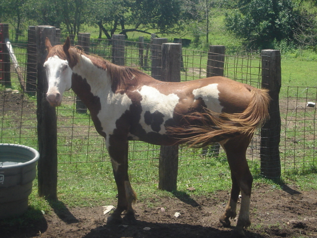 Twister's Sire - APHA Mr Cita Chest
